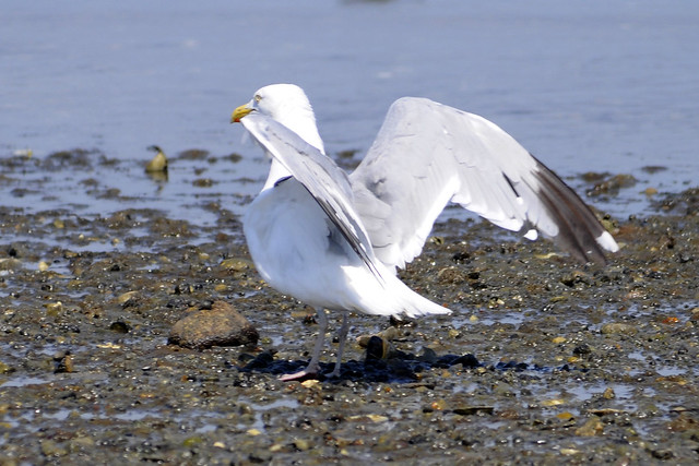 gull killing a conch 3