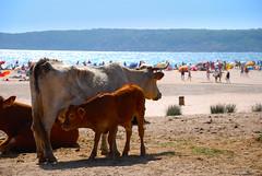Playa de Bolonia con otros animales