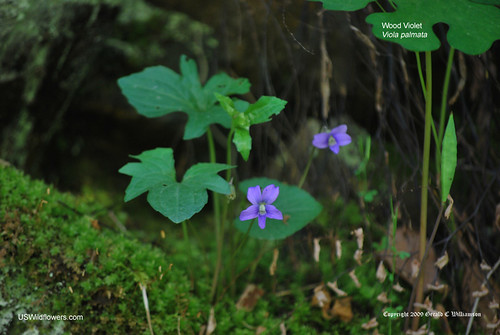 Wood Violet, Early Blue Violet, Trilobed Violet - Viola palmata