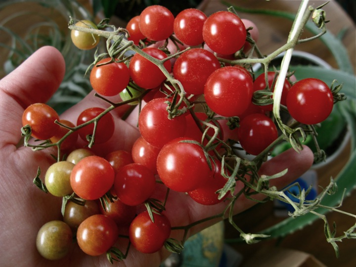 currant tomatoes 001