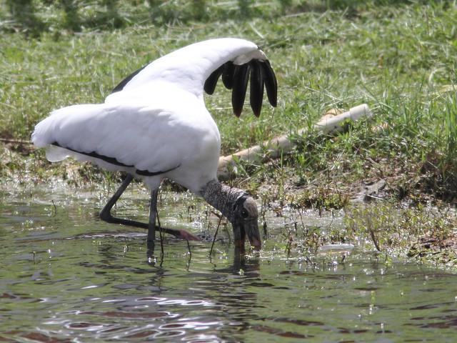 Wood Stork feeding2 20110921