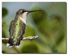 A female ruby-throated hummingbird at Mizell Farms (Larry Daugherty) Tags: female fly wings nikon louisiana hummingbird ngc folsom feathers npc rubythroatedhummingbird saariysqualitypictures mizellfarms mygearandme nikkor500mmf4lens