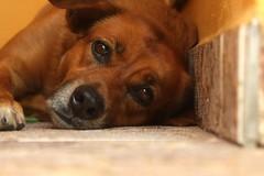 Rubi (Rodrigo Jordy) Tags: canon cachorros animais canon1855 500d t1i