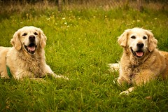 Shooting Immo & Quintus #16 ( kerstin-horn.de) Tags: portrait dog goldenretriever golden retriever hund shooting quintus immo