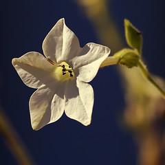 Au soir de sa vie... elle garde sa beaut... (ImAges ImprObables) Tags: fleur gimp crest soir ville flore effet drme rhnealpes lumireducouchant tabacdornement