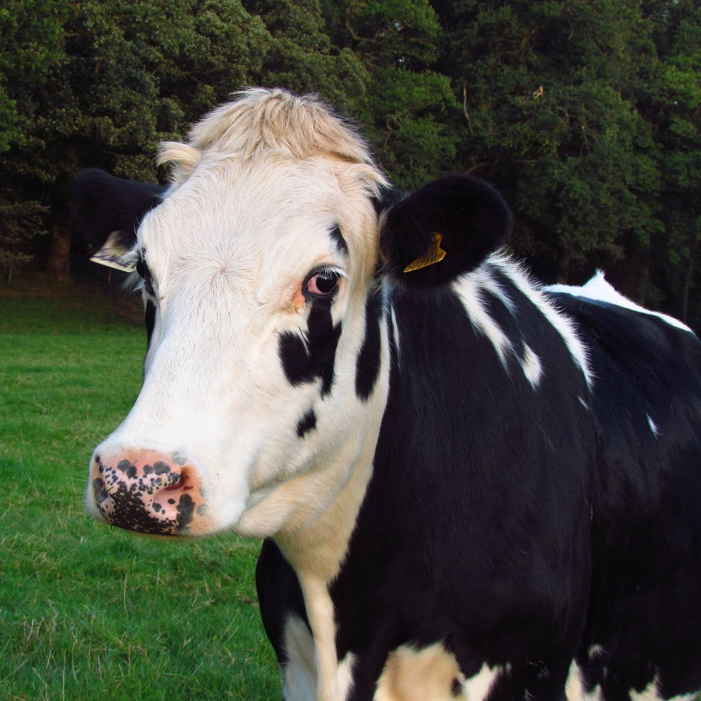 The Worlds Most Recently Posted Photos Of Cow And Eyelashes