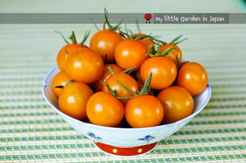 tomato-harvest-2