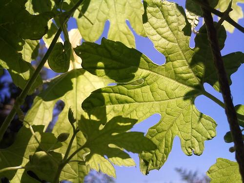秋のグリーンカーテン