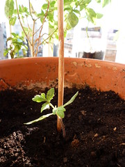 Trasplante a maceta de tomate pera