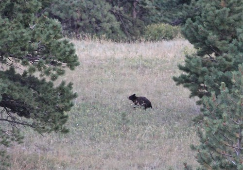 Black Bear Cub in the Meadow