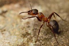 WOOD ANT  FORMICA FUFA  #12 (GOLDENORFE) Tags: macro insect ant ants woodant formicarufa woodants