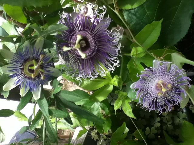 some of my passiflora - Page 2 6179032279_b0ce75fe3f_z