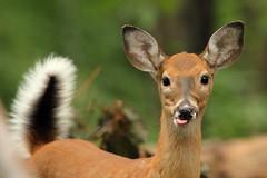 White-tailed Deer RCP3 (Mr.TinDC) Tags: park animals tongue washingtondc dc wildlife parks doe deer chewing rockcreekpark whitetail whitetaileddeer odocoileusvirginianus whitetaildeer