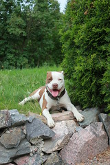 Tesla (Mika*S) Tags: rednose pitbull tesla apbt americanpitbullterrier 5for2