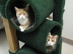 Sugar and Spice (Star Cat) Tags: rescue cat feline homeless spice kitty sugar shelter animalshelter returned hokafi