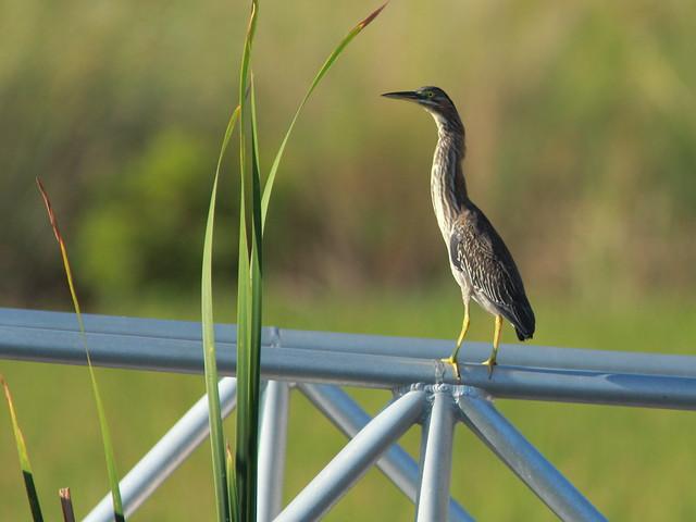 Green Heron 20110925