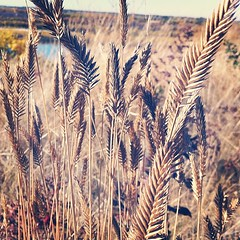 Follow Your Bliss (Emma Kalbhenn Art & Design) Tags: park wild nature grass wheat chief saskatoon whitecap iphonephoto iphonepicture instagram