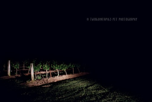 Vineyard at night by twoguineapigs pet photography