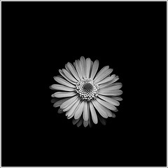 Isolate (majestiele) Tags: flowers blackandwhite white petals daisy isolation
