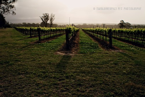 Vineyard by twoguineapigs pet photography