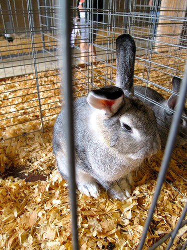 at the fair: rabbit