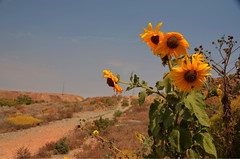 Broken Hill 1 (Mariasme) Tags: path lookout sunflowers nsw outback brokenhill farwest gamewinner theoutback block10 friendlychallenges pregamewinner