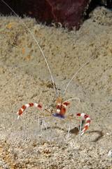Barber Pole Shrimp (BarryFackler) Tags: ocean life sea nature water animal coral island hawaii polynesia marine underwater dive shrimp scuba diving sealife pacificocean diver bigisland aquatic reef crustacean creature undersea kona coralreef invertebrate arthropod bandedcoralshrimp 2011 honaunau konacoast southkona stenopushispidus hawaiiisland marineinvertebrate honaunaubay barberpoleshrimp barryfackler barronfackler shispidus bandanaprawns