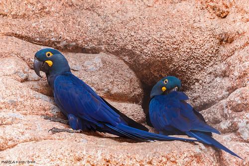 Arara-azul-de-lear   (Anodorhynchus leari)   -   Lear