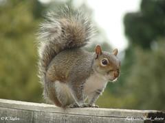 Grey Squirrel (Sciurus carolinensis) (dead_desire) Tags: spring wildlife sony greysquirrel sciuruscarolinensis dsch3