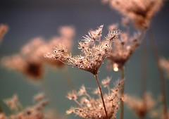 umbrellas (palinta) Tags: autumn nature up dof close bokeh dry carota daucus umbelliferae palinta