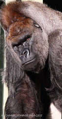 HARRY (michaeljohnsimages) Tags: camera ireland dublin brown black male eye art nature face animal canon photo interesting eyes flickr dad power view image gorilla action snapshot picture handsome explore observe planet stare friday encounter silverback blinkagain
