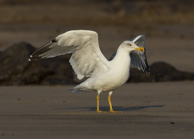 yellow legged gull landing