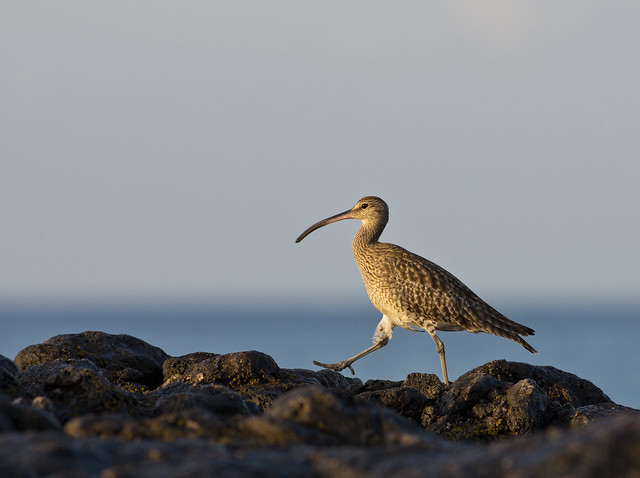whimbrel walking along rocks