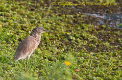 The Indian Pond Heron or Paddybird (Ardeola grayii) (Tony Fernando) Tags: heron canon pond shot photos or indian snap images photographs l srilanka f56 ef stockphoto the stockphotography 400mm paddybird ardeola grayii stockimagery srilankanimages visitsrilanka2011 tonyfernando