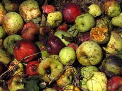 Fallen Apples (BlueRidgeKitties) Tags: plant apple fruit backyard botany malus rosaceae pome malusdomestica ccbyncsa canonpowershotsx10is