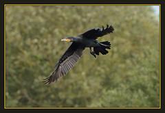 Cormorant (Full Moon Images) Tags: bird nature project flying wildlife great flight reserve national trust cormorant fen fens cambridgeshire fenland woodwalton