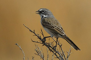 Sage Sparrow (Bell's)-Amphispiza belli