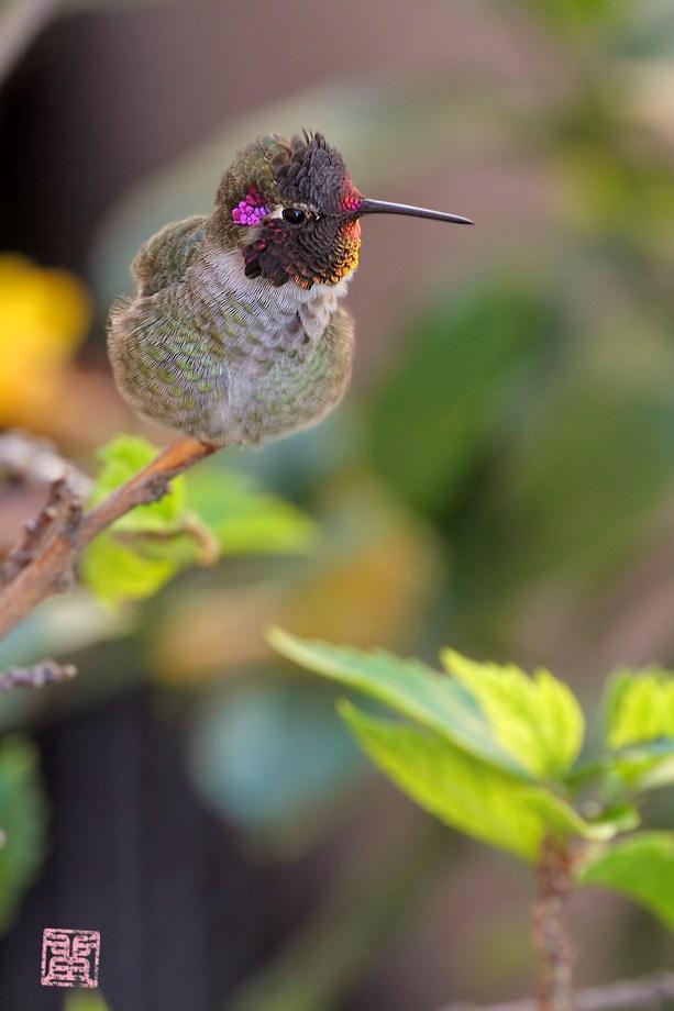 Anna's Hummingbird100611
