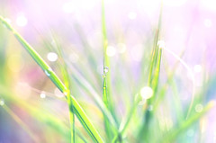 Wild beauty (y2-hiro) Tags: light sun macro grass drops nikon bokeh d300 70mm