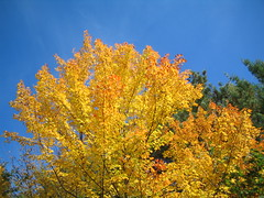 My NH Yard Fall Foliage Bests 10/11/2011 (catchesthelight) Tags: blue autumn trees light sky orange plants fall colors beauty leaves yellow flora nh fallfoliage colourful itsmulticolored fallfoliagephotography