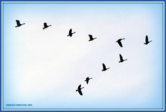 v-formation (MEA Images) Tags: nature birds wisconsin flying geese wildlife flight picnik vformation