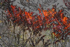 colors of autumn. . . . (Ed Brodzinsky) Tags: autumn sumac autumncolors edbrodzinsky blinkagain