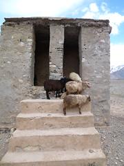 Sheep toilet (John Steedman) Tags: india trekking trek sheep toilet restroom lavatory toilets mouton jk convenience ladakh ovejo schaf jandk インド jammukashmir bedürfnisanstalt jammuandkashmir 印度 भारत pishu