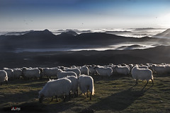 Amanecer en Gorbea 2 (Jabi Artaraz) Tags: light naturaleza mist nature animal fog fauna sunrise amazing spain europa europe sheep gorgeous sony natur natura amanecer zb lovely bizkaia euskalherria euskadi basquecountry spanien baskenland 1000views araba paysbasque biskaia bruma gorbea animaliak lava ovejas rebao lainoa