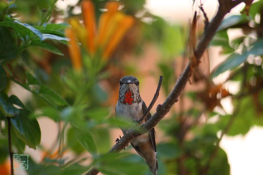 Allen's Hummingbird 101811