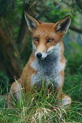 [フリー画像] 動物, 哺乳類, 狐・キツネ, 201109161100