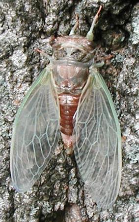 cicada-hatch-1