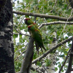 A nice pair (Daveed7) Tags: chihuahua bird mexico madera watching birding parrots eared thickbilled quetzals solipaso