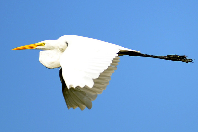 egret flight two 2011