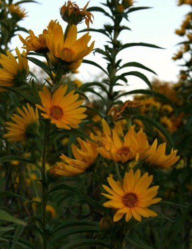 PerenSunflowers2Sept2011
